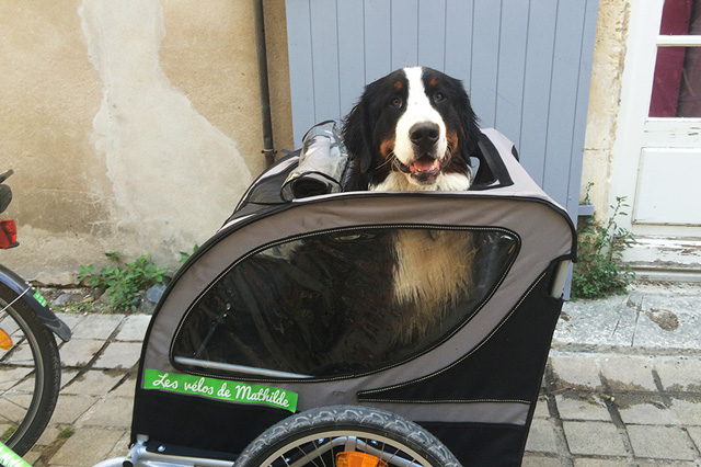 Dog trailer bicycle